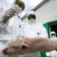 В Омской области нашли новый очаг чумы свиней