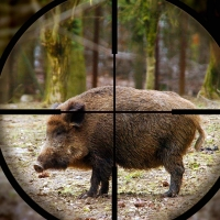 Россельхознадзор выступил за полное уничтожение диких кабанов в Омской области
