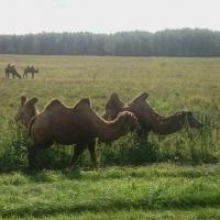 Движение на трассе Тюмень-Омск заблокировали верблюды