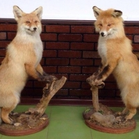 В Омской области из придорожного кафе мужчина похитил чучело лисы