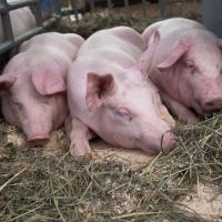 Фермерам Полтавского района рассказали о правилах содержания животных при АЧС