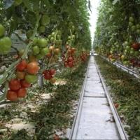 В регионе не хватает китайских помидоров с омской земли