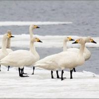 Лебеди-кликуны не торопятся покидать Омскую область