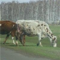 Омским фермерам запретили забивать скот для продажи самостоятельно