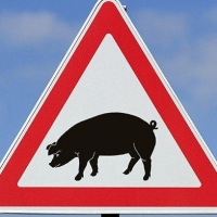 Из-за чумы свиней в Омской области уничтожили более 9 тысяч животных