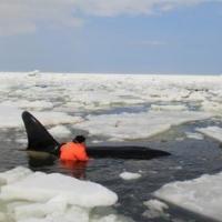 В Сахалинской области из ледового плена спасли косаток