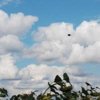 Минприроды Омской области пересчитает колпиц и коршунов