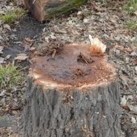 В омском сквере имени Дзержинского вырубят старые и больные деревья
