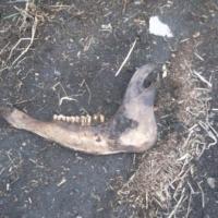 В Омской области разложившиеся трупы коров не доехали до скотомогильника