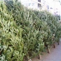 Купить новогоднюю елку в Омске можно с 1 декабря