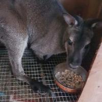 В Омске за 100 тысяч рублей продают кенгуру
