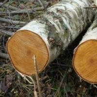 В Омской области под березой погиб молодой лесоруб
