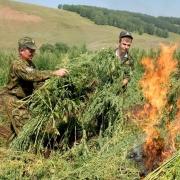 В Омской области сожгли 50 гектаров конопли