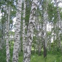 Житель Омской области незаконно срубил березы почти на 400 тысяч рублей