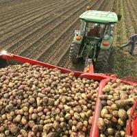 Омская область обеспечила себя картошкой на 130%