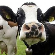 Китайцы вложатся в омских коров