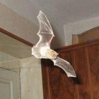 В квартиры омичей в гости залетают летучие мыши