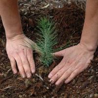 В Омской области высадят хвойный лес