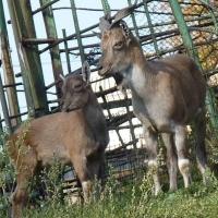 Козлы из Москвы поселились в зоопарке под Омском