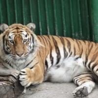 Омичей приглашают на день Тигра