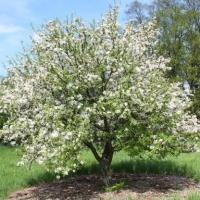 Зеленым символом Омской области в Крыму стала яблоня