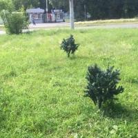 В Омске «выросли» искусственные ели