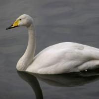 Омичей просят не вмешиваться в судьбу лебедя-кликуна
