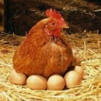 Иртышская птицефабрика будет поставлять халяльные яйца в Турцию