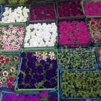 Мэрия Омска закупит рассаду цветов почти на 4 млн рублей