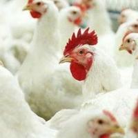 Американскую курятину на омской границе задержали сотрудники ФСБ