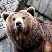 По следам медвежьих лап