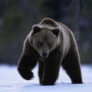 Омская полиция ищет пробудившегося медведя