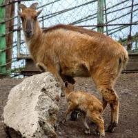 В семье гималайских таров в Большереченском зоопарке на свет появился малыш