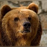 В центре Тары застрелили дикого медведя