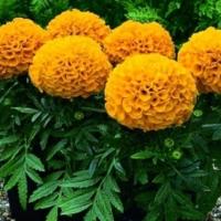 """К """"Флоре-2015"""" в Омске высадят 150 тысяч цветов"""