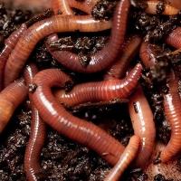 Ученые ОмГПУ получили грант на трехлетнее исследование дождевых червей