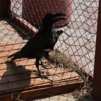 В Омске мини-зоопарк «Птичьей гавани» принял раненого ворона из Ачинска