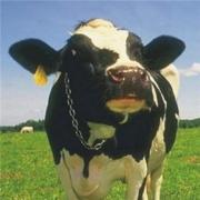 Корова в подарок