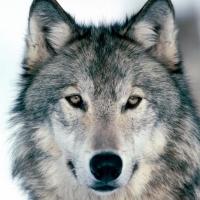 Непринятую в стаю таежную волчицу отправили в Омск