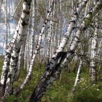 В Омской области во время рубки березы погиб лесоруб