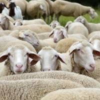 Волки напали на стадо овец в Омской области