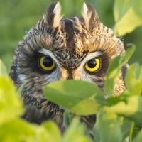 В Омске совы терроризируют домашних животных