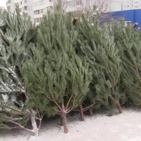 На Левобережье Омска продавали елки без сертификатов