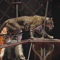 В Омском цирке ягуар напал на ассистента дрессировщика