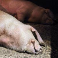 Россельхознадзор уличил ветслужбы в сжигании свиней без взятия проб на АЧС