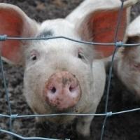 Омич закопал за огородом труп больной свиньи