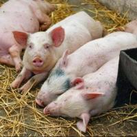 Африканская чума свиней продолжает распространятся по Омской области