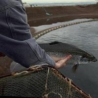 Омские предприниматели, занимающиеся рыбным хозяйством, могут получить субсидии