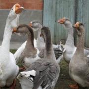 Прокуроры посчитали предпринимательнице гусей