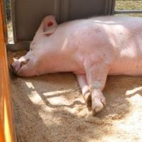 Беларусь временно отказалась от омской свинины из-за вспышки африканской чумы
